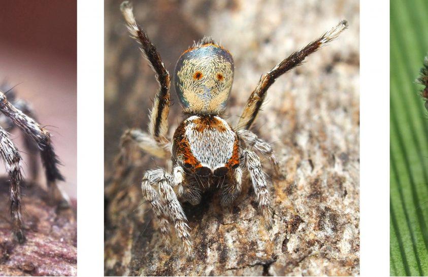Hét új pávapók-fajt fedeztek fel Ausztráliában
