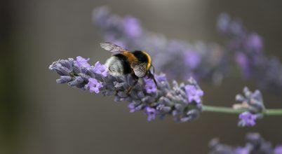 Harapással serkentik a növényeket a poszméhek