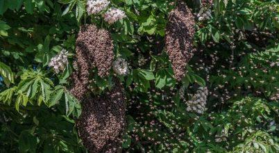 Kirajzott méhek egy gesztenyefán