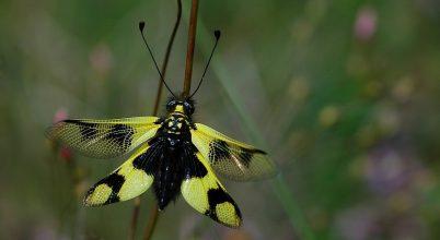 Nem lepke, bár igen szépséges rovar