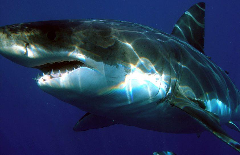 Meglepetés a nagy fehér cápák étrendje