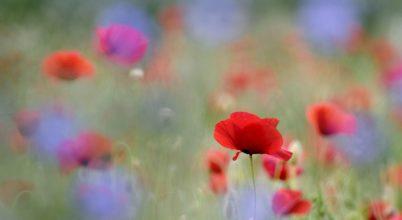 Szántóföldek piros virága