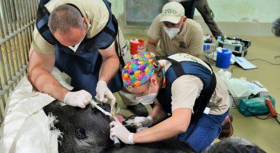 Életmentő beavatkozásra volt szüksége a gorillának