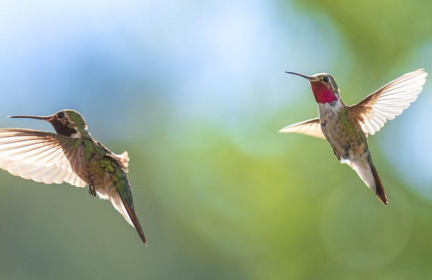 El sem tudjuk képzelni, milyen színkavalkádot látnak a kolibrik