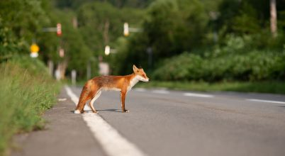 Állatok, melyek az autók áldozatai az országúton