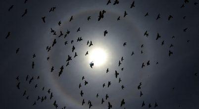 Egyre tökéletesebben utánozzák a dróncsapatok a madárrajok repülését