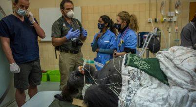 Helikopterrel érkezett az állatkórházba egy méretes gorilla