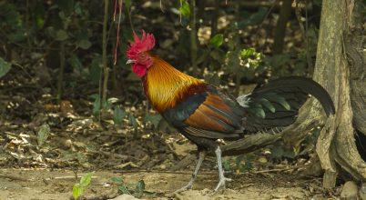 A dzsungelből a vasárnapi asztalig: megtalálták a csirkék eredetét