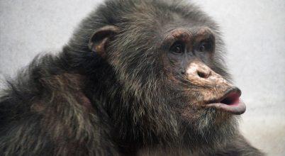 Bizonyos szintig az emberek is értik a csimpánzok hangját