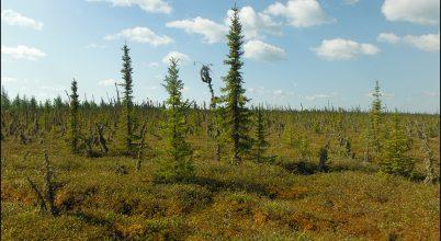 Menedékhelyek a sarkvidéki erdőségben