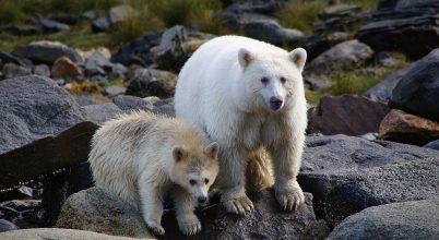 Őslakosok segítenek megóvni a szellem-medvéket