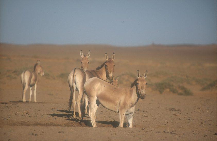 Mely állatok a szárazföldi vándorlás rekorderei?