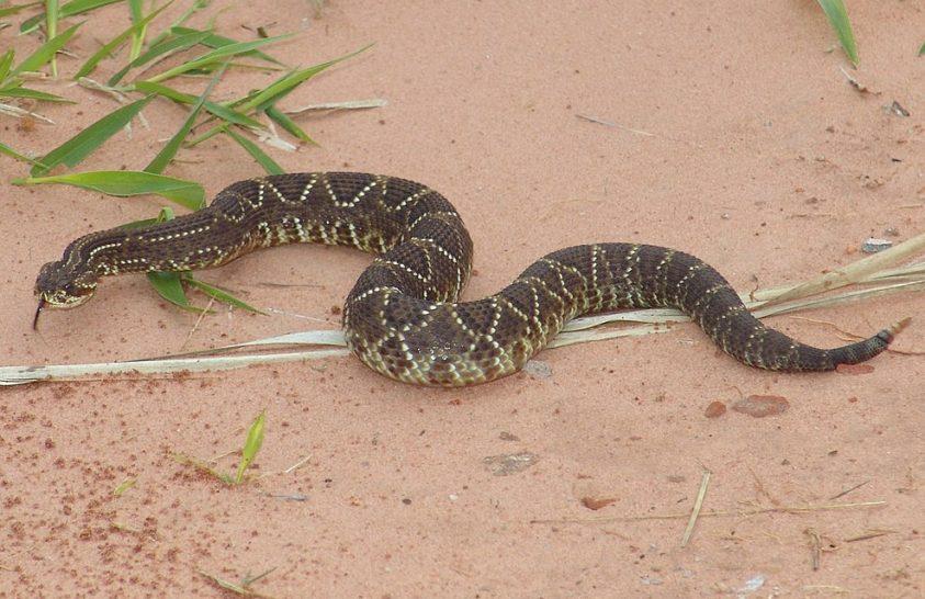 Csörgőkígyó-gének vallanak Dél-Amerika klímamúltjáról