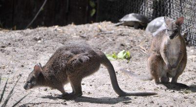 Ritka kengurufaj érkezett a budapesti állatkertbe