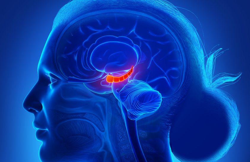 Az ELTE kutatói megtalálták, mely agyi terület befolyásolja az intelligenciát