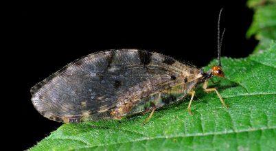 Partifátyolkafélék új fajainak kövületére bukkantak