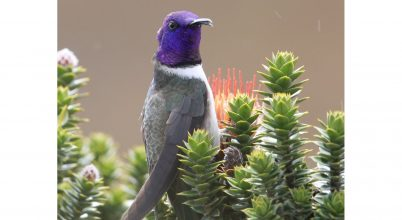 Ultrahangon szól egy kolibri éneke