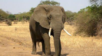 Folytatódik a botswanai elefántok pusztulása