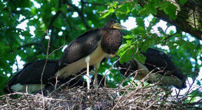 Háborítatlan erdők fészkelő madara