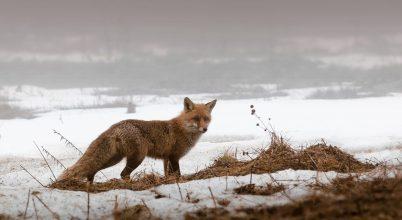 A rókák már 42 ezer éve ették az ember eleségét