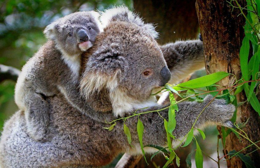 Mesterséges intelligencia és drónok segíthetnek a koalák megmentésében
