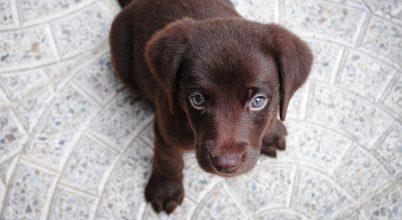 Új módszer a kutya és az ember életkorának összehasonlítására