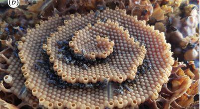 Igen különleges fészket építenek egyes méhek