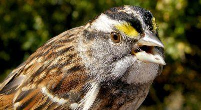 Így terjedt el egy új ének a kanadai madaraknál