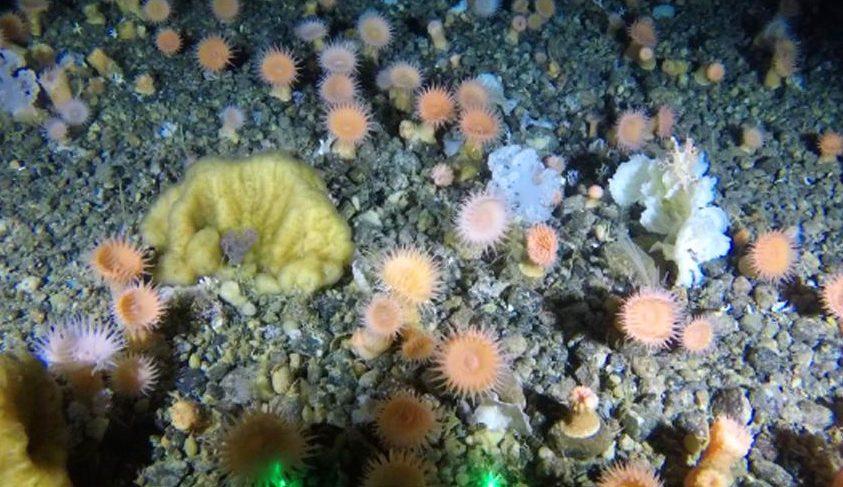 Korallkerteket találtak Grönland közelében