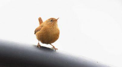 Parányi madárka: az ökörszem