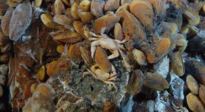 A mélytengeri kagylók is rendelkeznek felszínhez kötött biológiai ritmussal