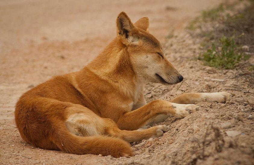 Nagyobbá váltak a dingók az elmúlt 80 évben