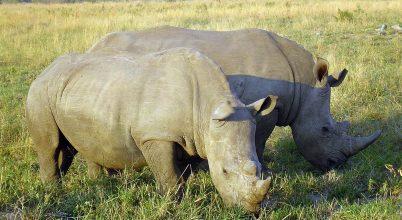 Dél-Afrikában csökkent az orrszarvúk illegális vadászata