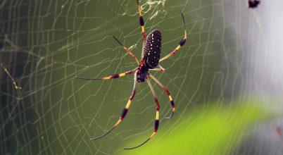 Bizonyos pókhálók neurotoxint tartalmazhatnak