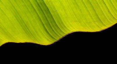 A nap képe: Banánlevél