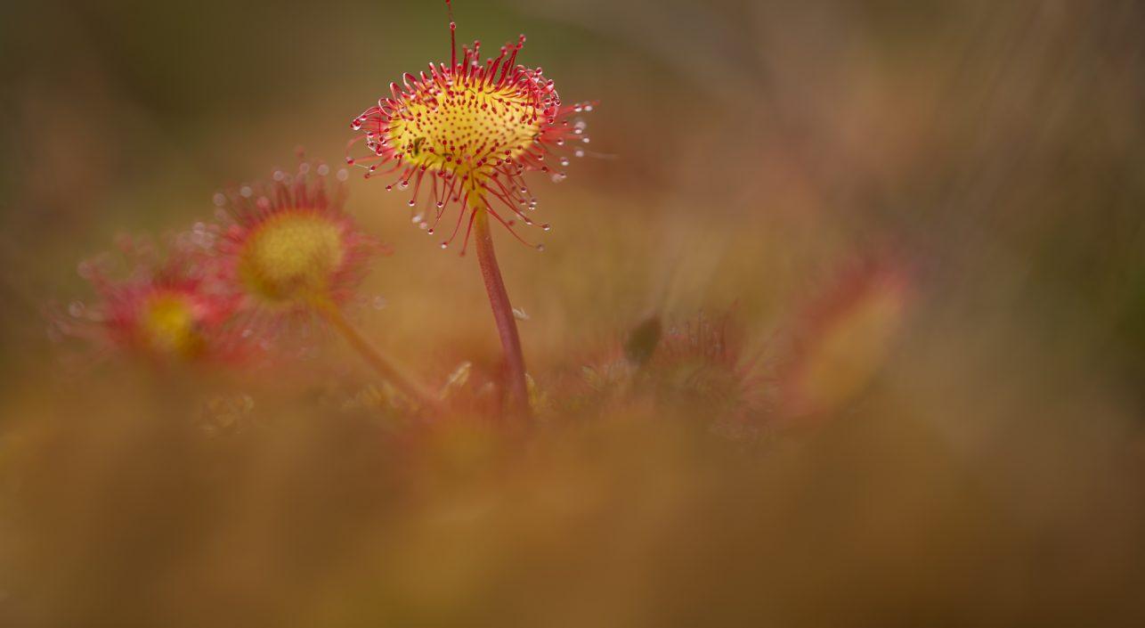 A nap képe: Kereklevelű harmatfű