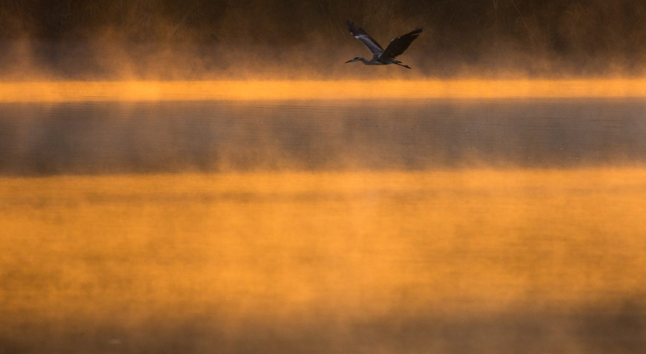 A nap képe: Szürkegém hajnalban