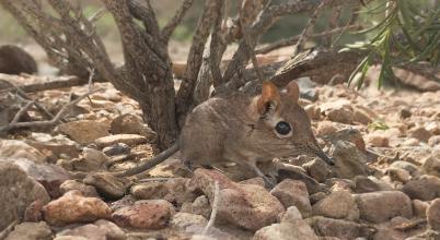 Kihaltnak vélt emlősfaj került elő 50 év után