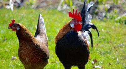 A csirkék agya zsugorodik a háziasítás során