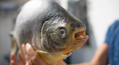 Újabb területen bukkant fel a vegetáriánus pirájaként ismert faj