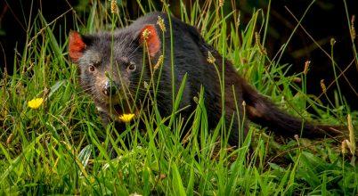 Áttörést érhettek el a tasman ördögöket tizedelő rákkal kapcsolatban