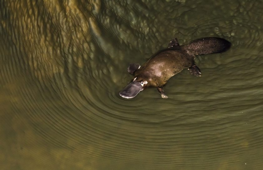 Kihalás szélén a kacsacsőrű emlős