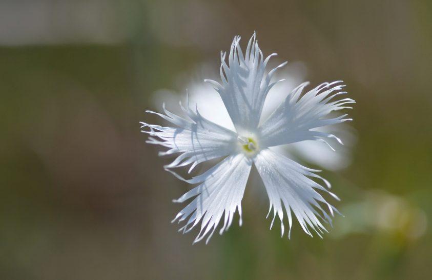 Lovagi korok egyik virága az István király-szegfű