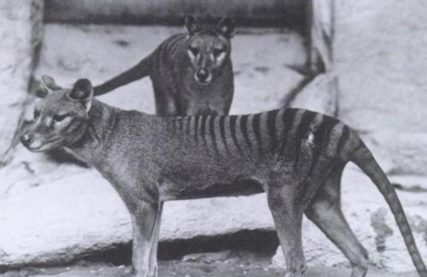 A véltnél kisebb volt a tasmán tigris