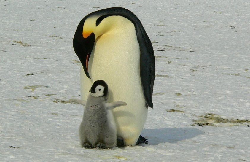 Különös módon találtak rá a császárpingvinek új kolóniájára
