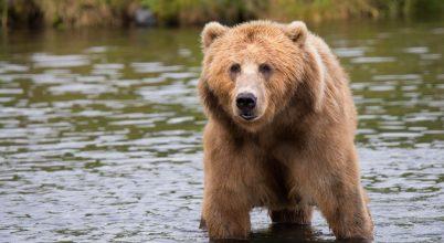 Medvék segítik a lazac-élőhelyek védelmét
