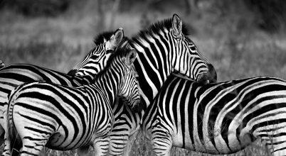 Úgy tűnik, a magyar kutatóknak igazuk van a zebracsíkokkal kapcsolatban