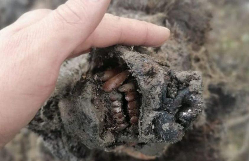 Kivételes állapotú barlangi medvét találtak