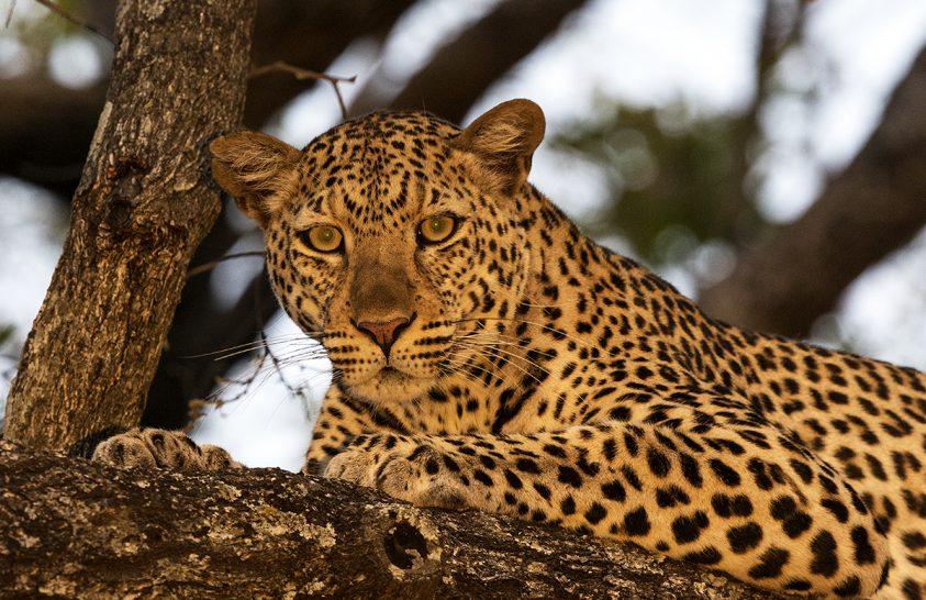 Stabil a Serengeti leopárdállománya, de évszakosan változik