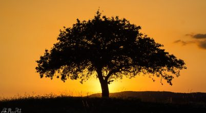 A nap képe: Körtefa